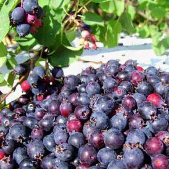 Ирга (плоды)