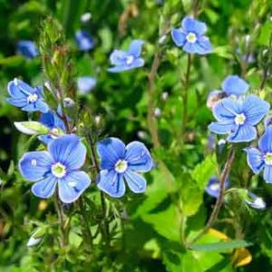 Вероника лекарственная (трава)