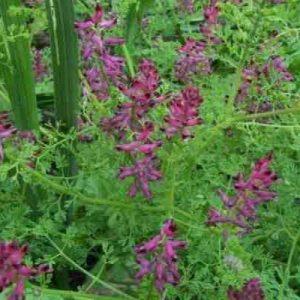 Дымянка лекарственная (трава)