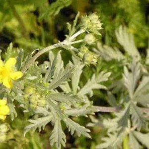 Лапчатка серебристая (трава) 50 г.