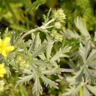 Лапчатка серебристая (трава)