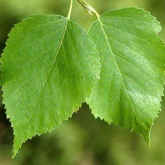 Березы листья