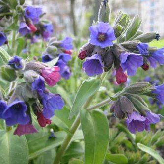 Медунка или медуница лекарственная (трава с цветом) 50 г.