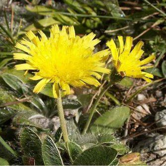 Ястребинка волосистая (трава)