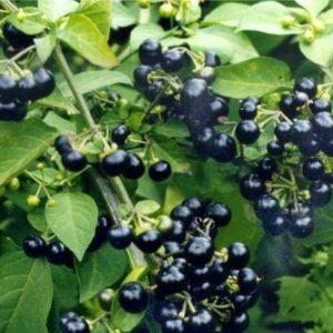 Паслен черный (плоды) 50 г.