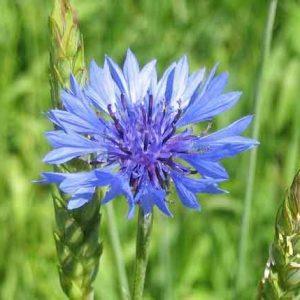 Волошка, василёк синий (цвет) 50 г.