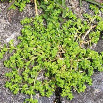 Грыжник гладкий, голый (трава) 50 г