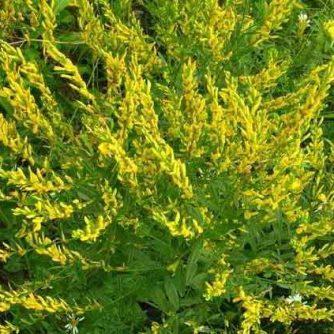 Дрок красильный (трава с цветом) 50 г