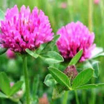 Клевер луговой (цветки) 50 г