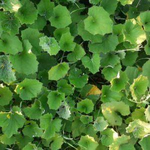 Мать-и-мачеха (листья) 50 г.